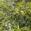 供应短萼海桐、万里香、山桂花种子