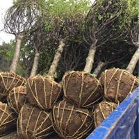供应红梅榆叶梅美人梅珍珠梅腊梅垂梅3-8公分 丛生榆叶梅