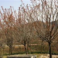 江苏星星园林批发晚樱,樱花,日本樱花,海棠等苗木