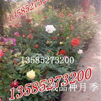 直销P40-50公分红帽月季价格-品种月季,树状月季