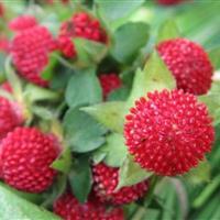 蛇莓  蛇莓小苗 蛇莓绿化工程