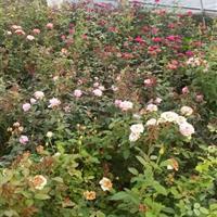 星星园林进口月季供应,又名玫瑰,黄玫瑰,*夫人,品种全。