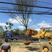 江蘇櫸樹基地,櫸樹裝車中,歡迎選購