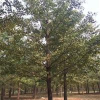 星星园林大量批发1到50公分银杏树。又名白果长寿果,