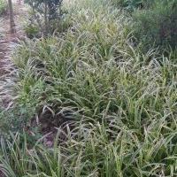 供应麦冬,金边麦冬,日本矮麦冬
