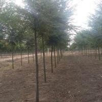 直銷櫸樹,野生櫸樹,青櫸樹,紅櫸樹,白櫸樹,櫸樹苗