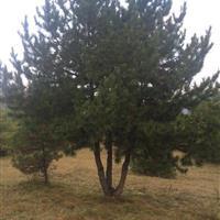 特供:丛生油松,奇型松,大型油松