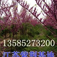 3公分紫荆树价格-4公分紫荆树价格-5公分紫荆树价格-紫荆花