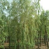 大量批发垂柳,垂柳苗,青皮柳,河柳,柳树,全冠垂柳