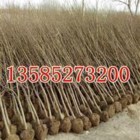 石榴树价格3-4-5公分石榴树价格,花石榴价格,果石榴树价格