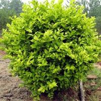 大量批发球形植物金叶女贞球苗木黄叶女贞球彩色绿化苗木