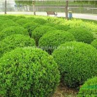 常绿园林苗木小叶黄杨球 瓜子黄杨球绿篱色块专用苗量大批发