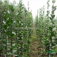 大量批发北方耐寒植物北海道黄杨学名冬青卫矛也称大叶黄杨篱笆苗