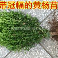 基地大量批发园林绿化苗木小叶黄杨 瓜子黄杨彩色绿化苗木小苗