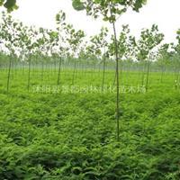 护坡绿化植物紫穗槐小苗 穗槐苗
