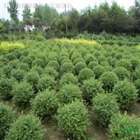 球类植物-常绿小叶女贞球,小叶女贞苗,红叶女贞球净球,毛球