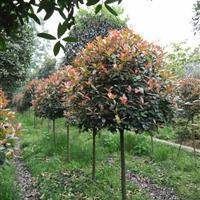 红叶石楠树,红叶石楠球,红叶石楠柱