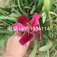 西伯利亚鸢尾 水生植物批发零售