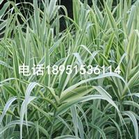 花叶芦苇 水生植物批发出售