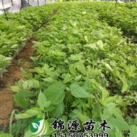构树扶贫  养植,中科一号,蛋白桑 组培苗