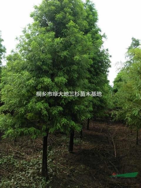 浙江地区供应落羽杉