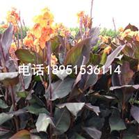 紫叶美人蕉苗圃直销