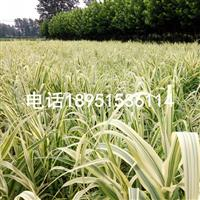 花叶芦竹 别名 斑叶芦竹 彩叶芦竹 水生植物苗圃价格