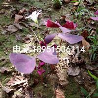 江苏紫叶酢浆草价格