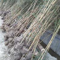 低价供应各类竹子,观赏竹、竹苗、竹种,紫竹、刚竹、红竹