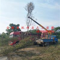 安徽肥西复叶槭15-20cm 量大价优