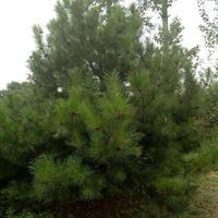 油松1.5米价格・油松1.5米图片・油松1.5米产地山西油松