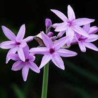 紫娇花  紫娇花  园林绿化小区绿化