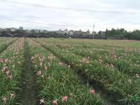 供应葱兰,韭兰,麦冬草20万棵,数量足价格实惠,量大从优