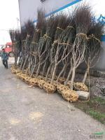 供应红枫D3-12公分数量2000棵,分支均匀土球好量大从优
