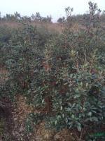 供应厚皮香H100-150,数量500棵,土球好,价格实惠