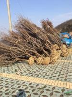 供应樱花D3-15公分,数量3000棵,分支均匀,价格实惠