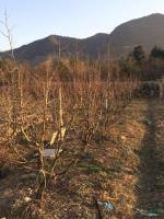 快乐赛车开奖枣树,数量300棵,枣子甜土球大质量好