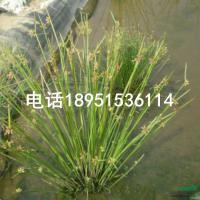 江苏水毛花2*新报价/水毛花2图片