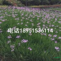 江苏紫娇花2