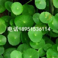 江苏香菇草信息
