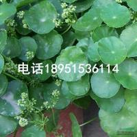 香菇草2供应/香菇草2图片