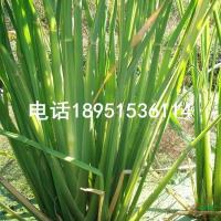 江苏野茭白最新报价/野茭白图片