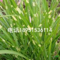 斑叶芒 多年生观赏草本植物 属观赏草