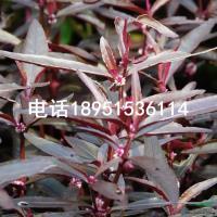 江苏红莲子草2信息