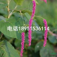 红蓼2报价/江苏红蓼2报价