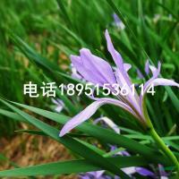 江苏马蔺2信息