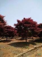 浙江日本紅楓*新報價/日本紅楓圖片