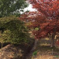 羽毛枫+日本红枫2供应/羽毛枫+日本红枫2图片