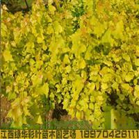 正宗欧洲金叶杨金叶杨小苗批发比红叶杨更为珍稀 金叶杨包成