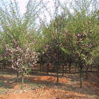 供應2公分紅梅,垂絲海棠 ,西府海棠,紅葉李,櫻花。玉蘭